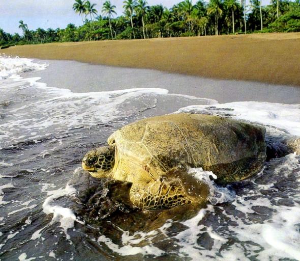 spiaggia -con-tartaruga-Tortuguero-Costa-Rica-tartaruga-sulla-spiaggia