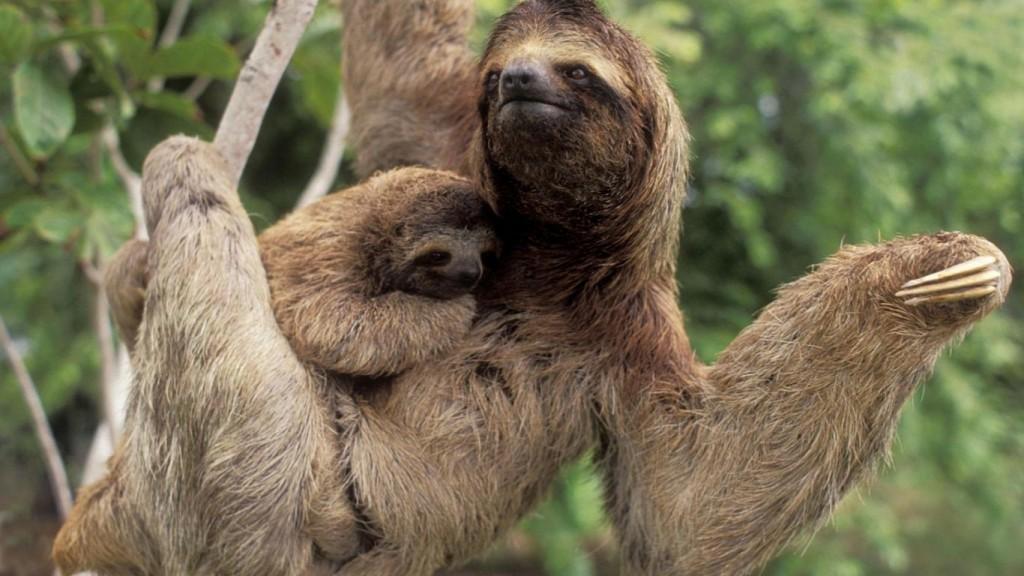bradipo-mamma-con-cucciolo-costa-rica-pg