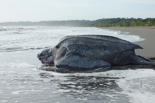 tartaruga.liuto.costa.rica.oceano.salvataggio