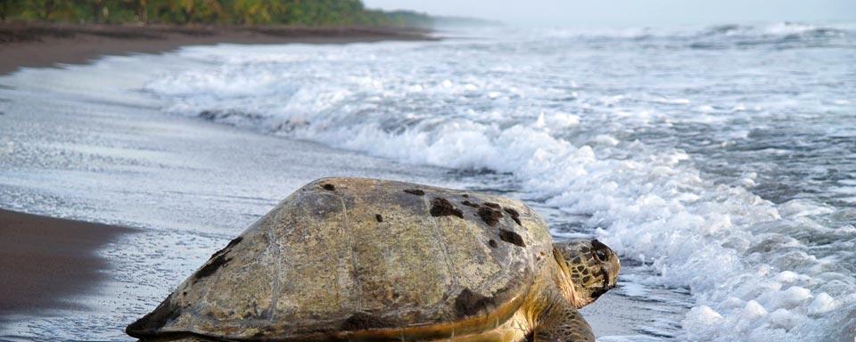 tartaruga-gigante-del-costa-rica-sulla-spiaggia