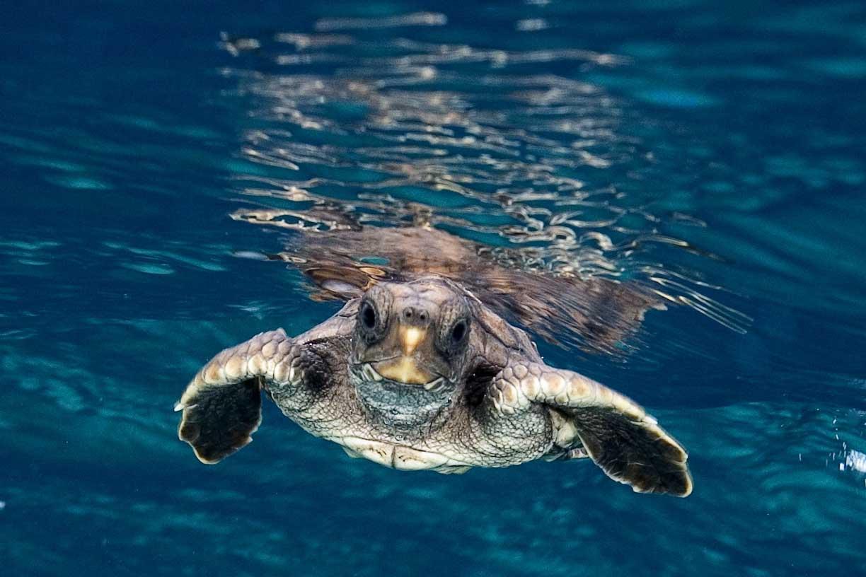 Tartaruga che nuota nell'oceano