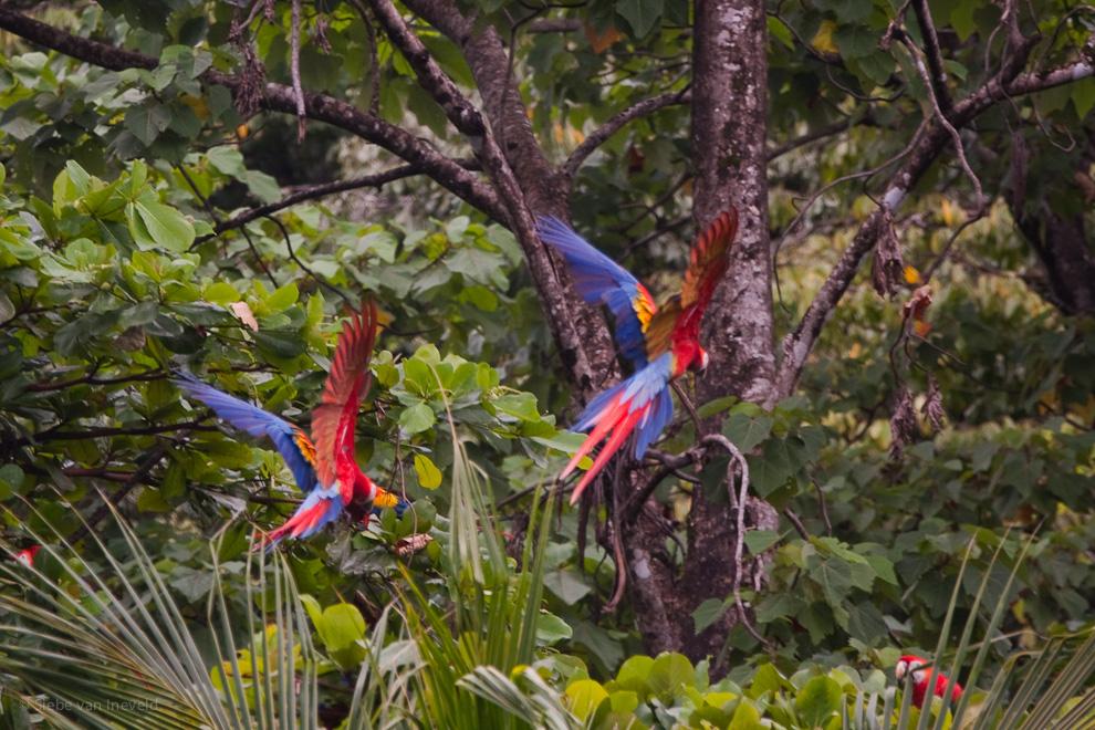 pappagalli-in foresta-vacanza-costa-rica