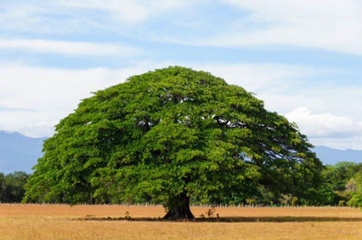 albero-guanacaste-costa-rica