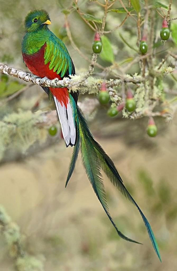quetzal-leggendario-costa-ricajpg