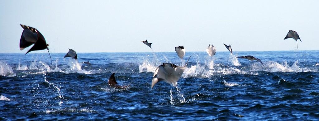 volo-cabo_manta-rays-jumping-costa ricajpg
