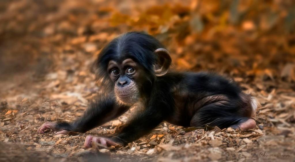 piccolo-scimmia-anilai-della-costa-rica