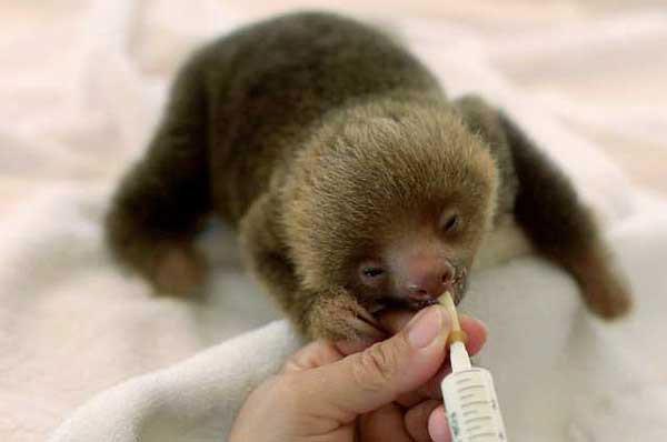 bradipo-che-mangia-latte-