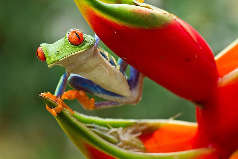 rana-colorata-costa-rica