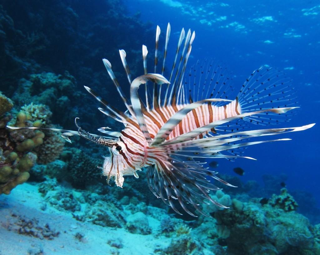 pesce-leone-costa-rica-