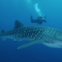 squali-immersioni-costa-rica