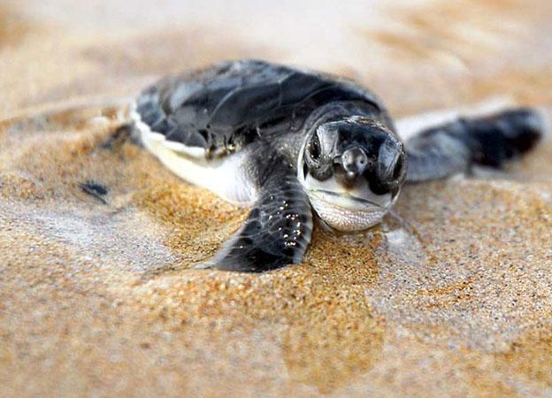 tartaruga-playa-grande-costarica