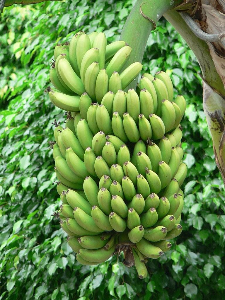 banane-costarica-le-migliori-al-mondo