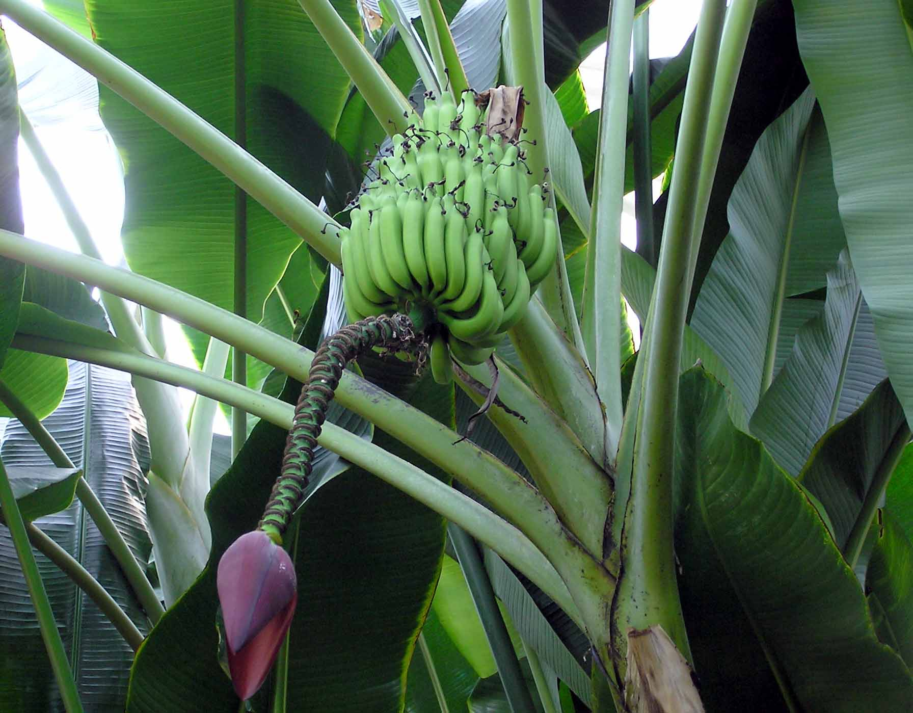 banane-della-costa-rica-sono-le-migliori-al-mondo